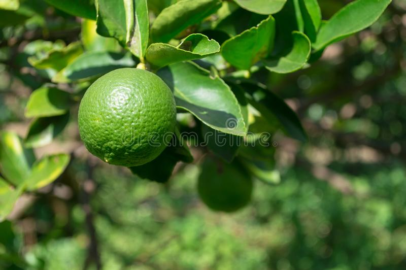 Green lemon on tree in the garden royalty free stock photos