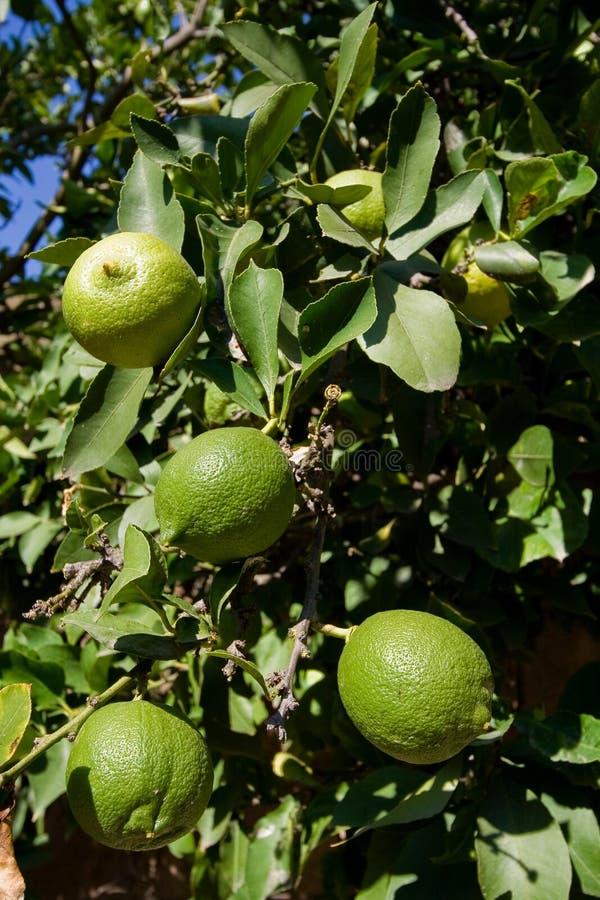 Download Green lemons stock image. Image of bitter, fresh, four - 3406075