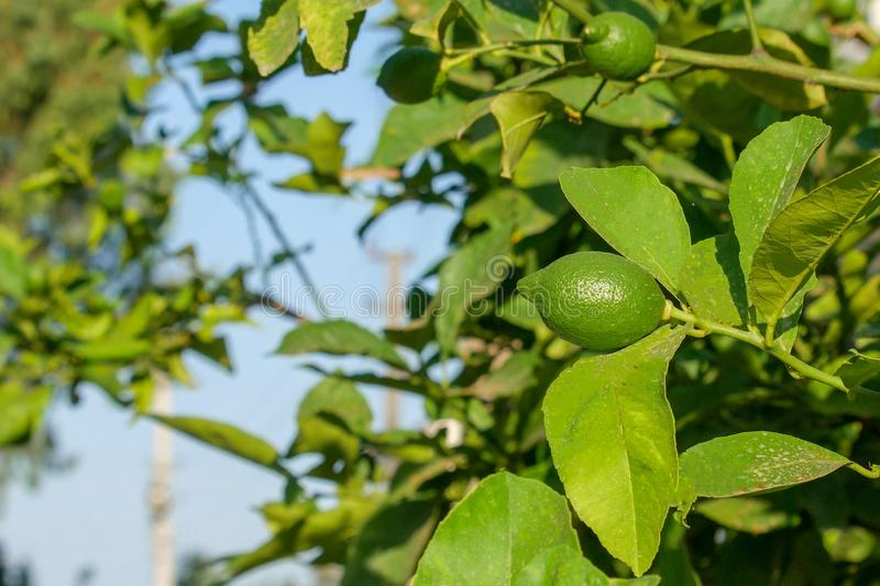 Green lemons hang on a branch surrounded by leaves. Summer sunny morning. stock photos