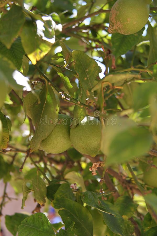 Green Lemon Tree at The Garden royalty free stock photos