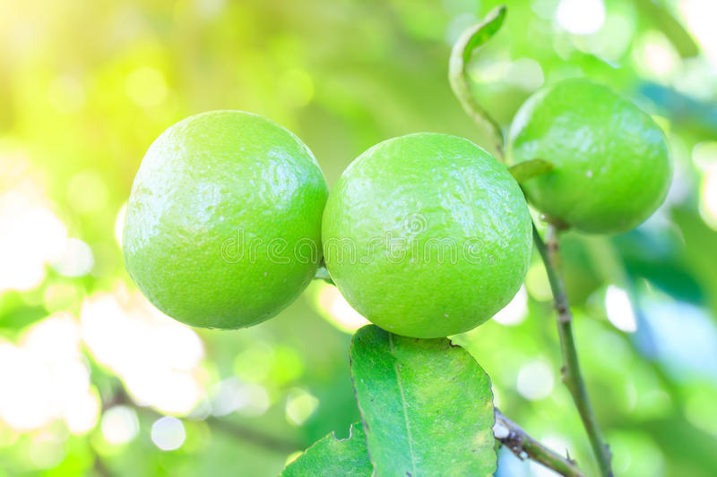 Green Lemons tree in garden with daylight. stock photos