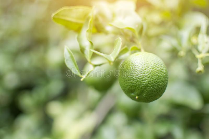Green Lemons on a tree in the garden royalty free stock photo