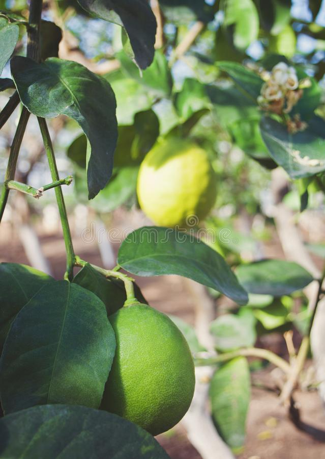 Green lemons on a tree in garden stock image