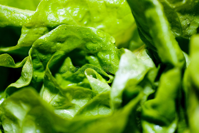 Green lettuce. A crop of fresh green lettuce royalty free stock photography