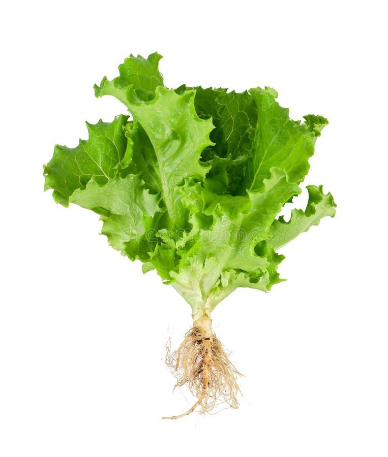 Download Green lettuce stock photo. Image of background, botany - 26841484