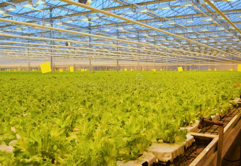 Green lettuce on an agricultural farm. Cultivation in the greenhouse stock photo