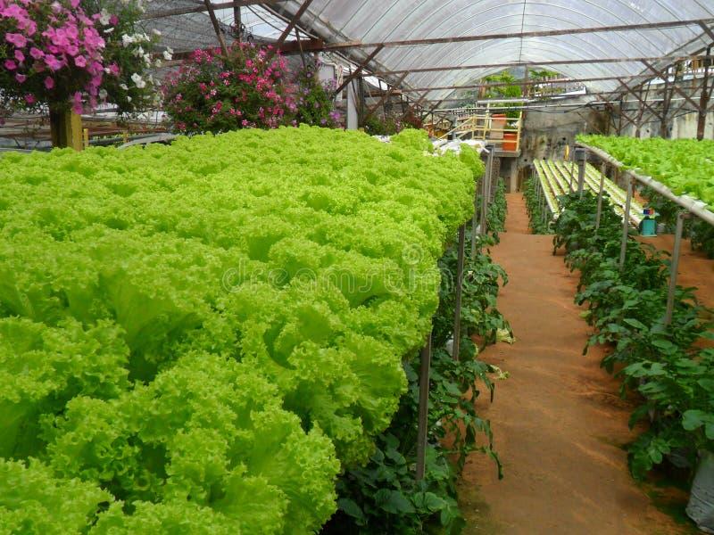 Green lettuce at Cameron Highland Malaysia royalty free stock image