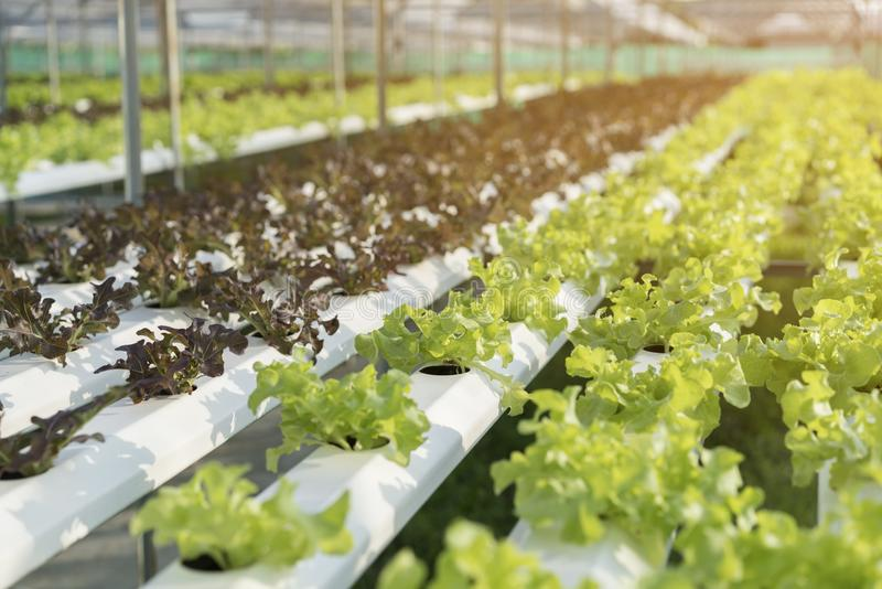 Green lettuce, cultivation hydroponics green vegetable in farm. Healthy food royalty free stock photos