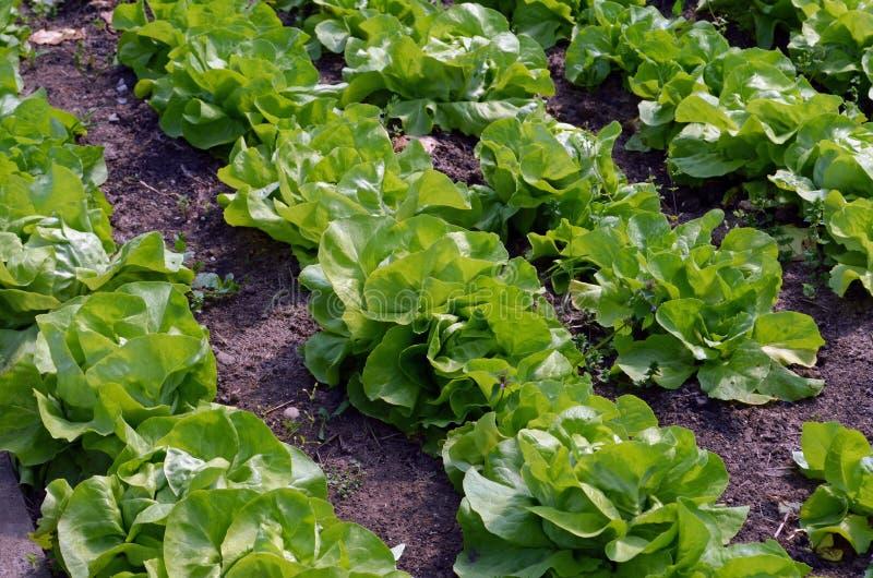 Green lettuce royalty free stock image