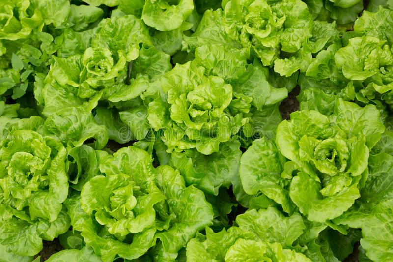 Green Lettuce in growth royalty free stock photography
