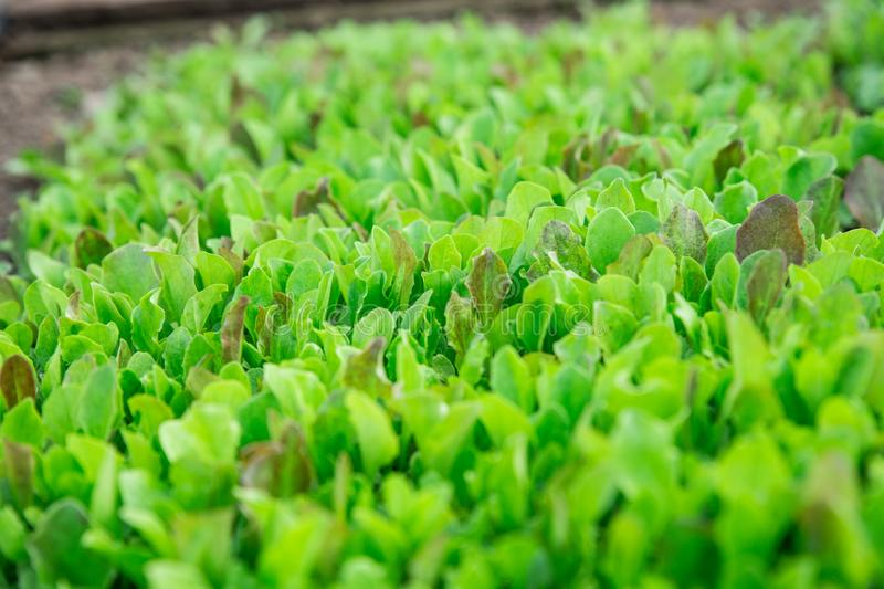 Green lettuce leaves. Fresh, young and tender lettuce leaves grow in the garden. A solid green carpet. Bright green royalty free stock photos