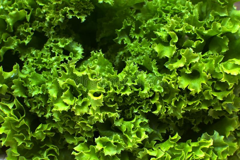 Green lettuce plants close up. Green background. Healthy lifestyle and healthy food. Food for the diet. Incredibly delicious and useful. Vegetarian and Vegan stock photos