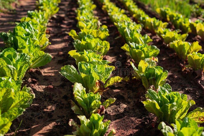 Green lettuce plants on field stock photo