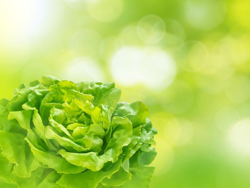 Green lettuce salad head on the blurred background. Green lettuce salad head in the corner of the blurred sparkling garden background royalty free stock photos