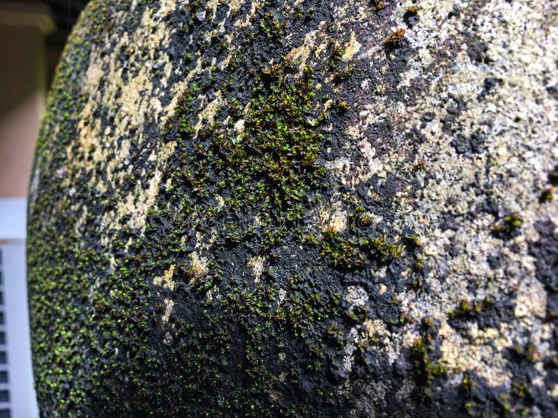 Green lichens grow and expand on jar surface in the rain season. Green lichens grow and expand on big jar surface in the rain season stock images