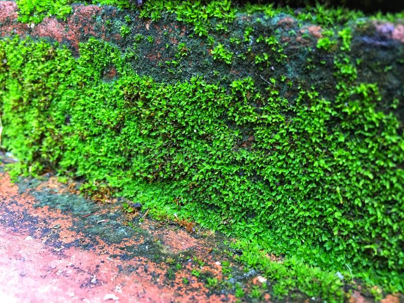Green lichens grow and expand on orange brick staircase in the rain season. Soft focus royalty free stock photos