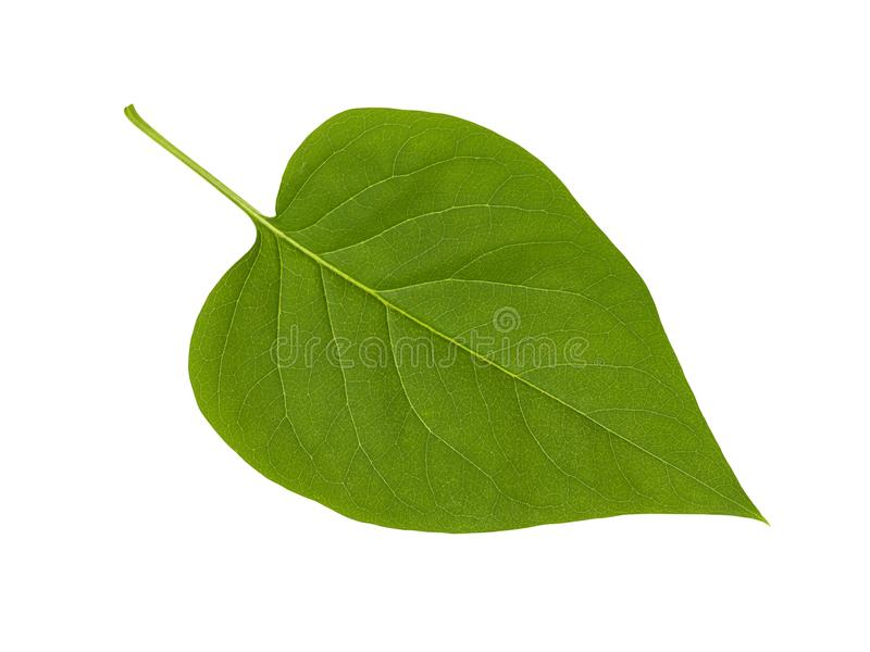 Green lilac leaf on white royalty free stock photo