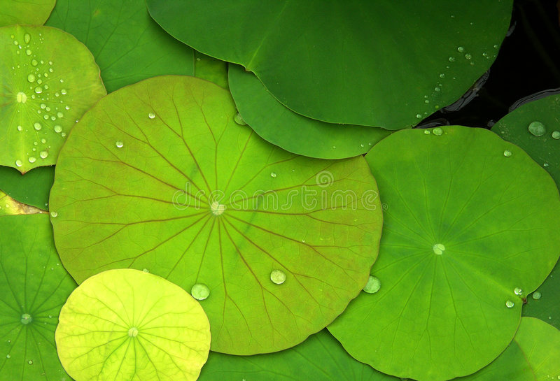 Green lily pads with dew. Detail shot looking down on green lily pads with dew drops royalty free stock photos