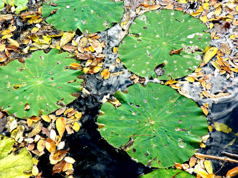 Green Lily Pads with Leaves in Water. Green lily pads with yellow tiny leaves floating in the water stock photos