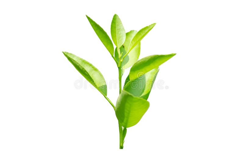 Green lime leaves isolated royalty free stock photos