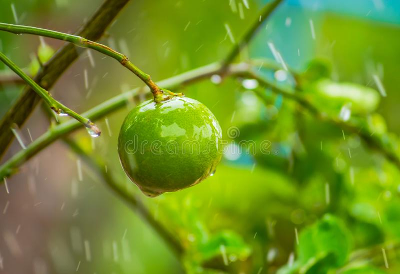Green lime, organic fruit for juice or salad and Thai food menu, growing up in the garden home. stock image