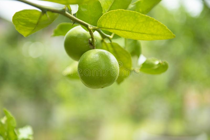 Green limes on a tree - Fresh lime citrus fruit high vitamin C in the garden farm agricultural with nature green blurbackground at stock images