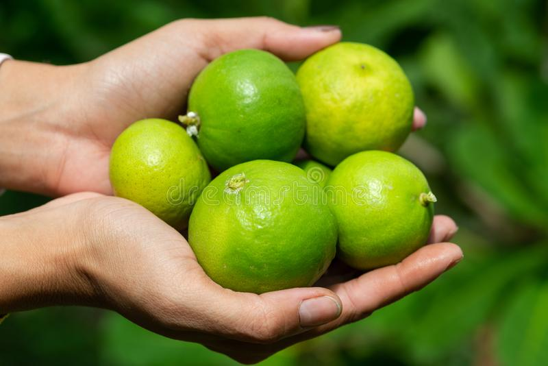 Green limes on a tree stock photos