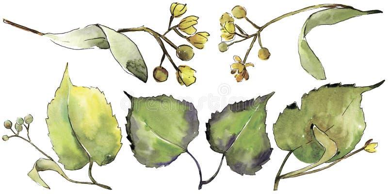 Green linden leaf. Leaf plant botanical garden floral foliage. Isolated illustration element. Aquarelle leaf for background, texture, wrapper pattern, frame or royalty free illustration