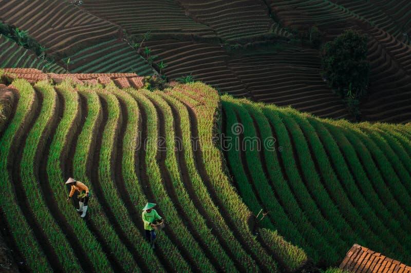 Green Line Pattern Plantation terracing. Onion plantation in Argapura Majalengka, west java, indonesia royalty free stock images