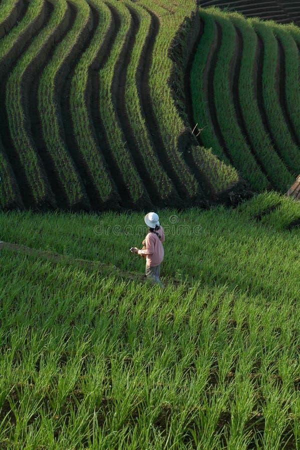 Green Line Pattern Plantation terracing. Onion plantation in Argapura Majalengka, west java, indonesia royalty free stock photos