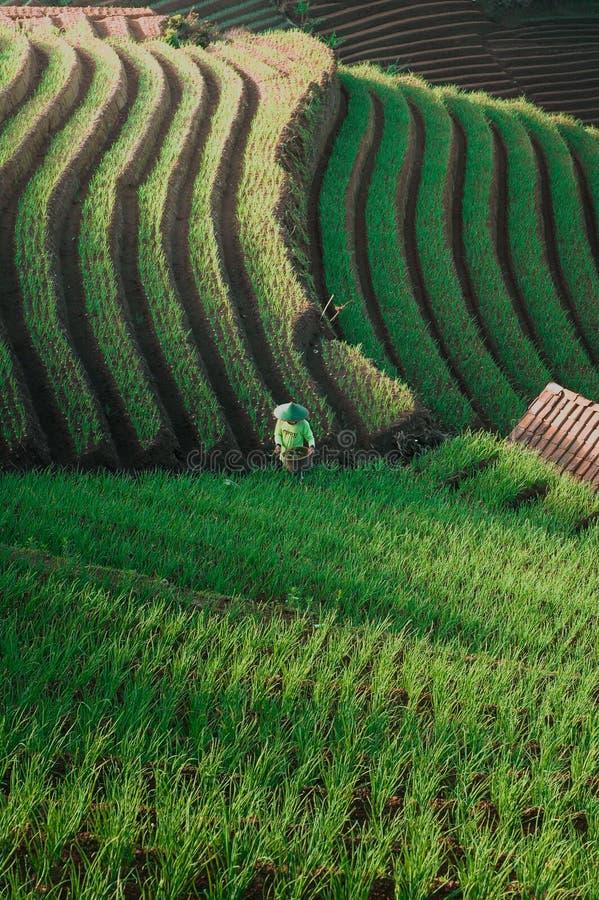 Green Line Pattern Plantation terracing. Onion plantation in Argapura Majalengka, west java, indonesia royalty free stock photo