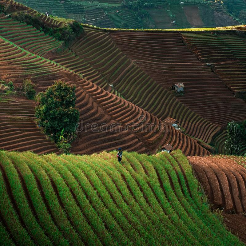 Green Line Pattern Plantation terracing. Onion plantation in Argapura Majalengka, west java, indonesia stock photos