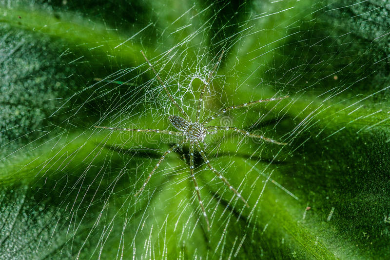 Green linx spider from rainforest stock photo