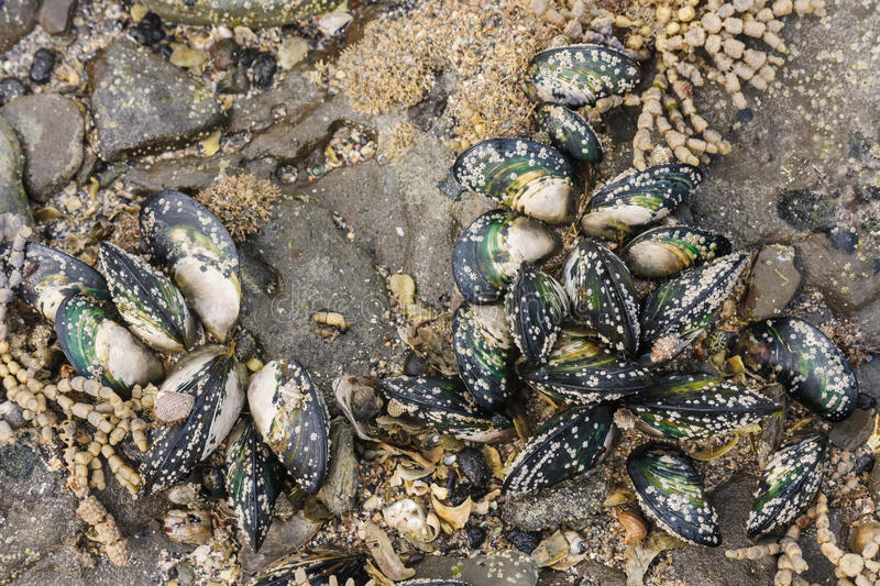Download Green-lipped mussels stock image. Image of canalicula - 43620403