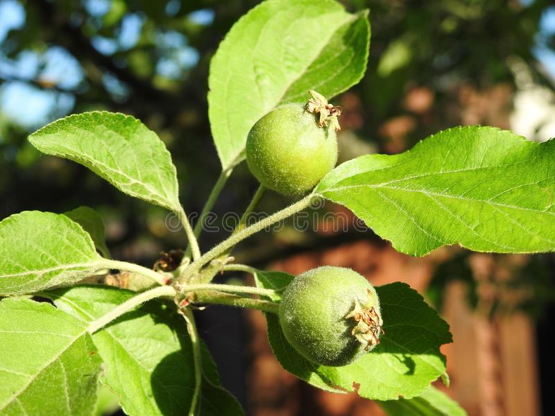 Small apple before ripen in summer, Lithuania stock photos