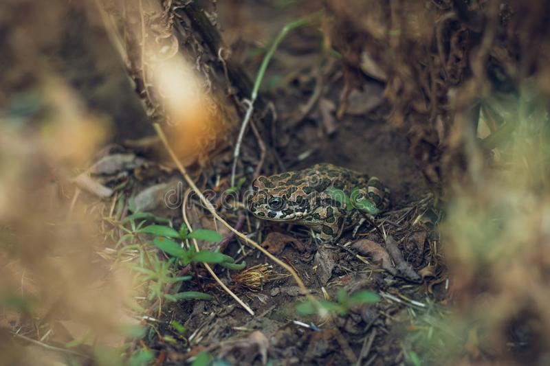 A green little frog hid under a bush forest. Wild water amphibians reptile in nature stock photos
