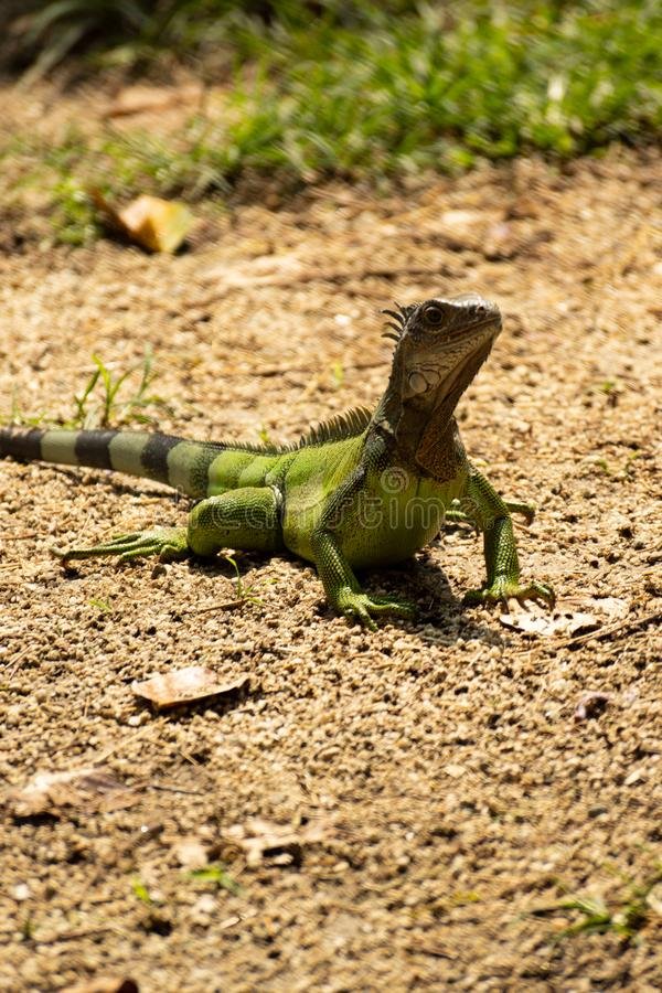 Green Little lizard running on land stock photo
