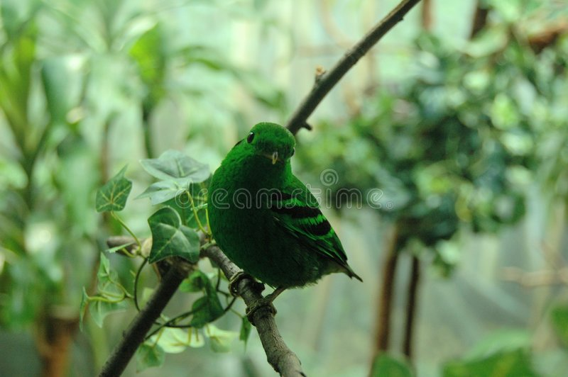 Green Lively Bird. A green and lively bird staring at me royalty free stock photos
