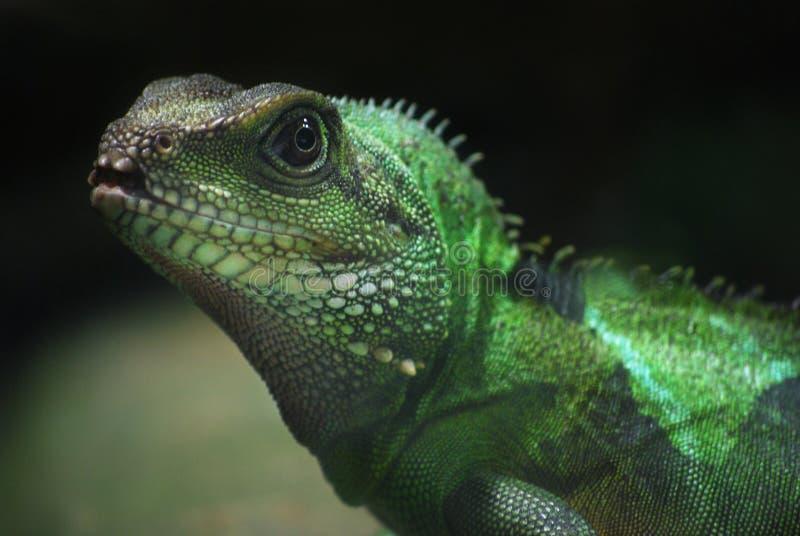 Green lizard royalty free stock image