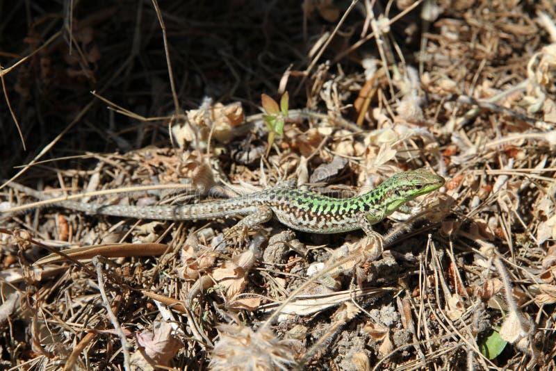 Download Green lizard stock photo. Image of leaves, vertebrate - 13995820