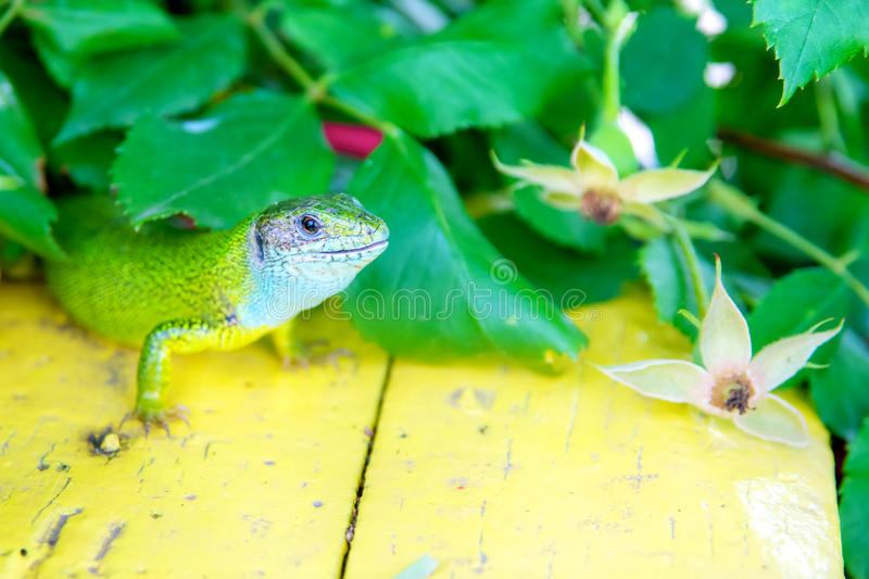 Download Green lizard stock image. Image of single, closeup, squamate - 15018911