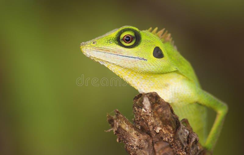 Green lizard. At Terengganu, Malaysia royalty free stock photo