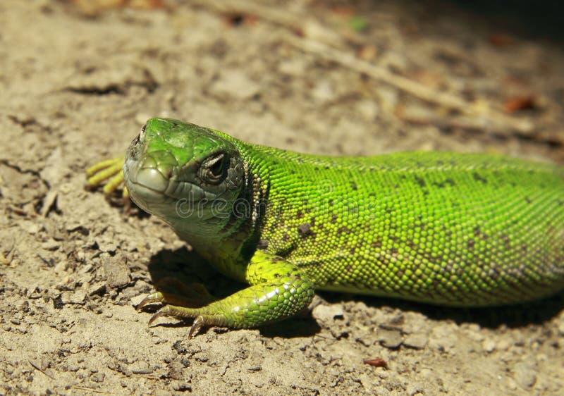 Download Green lizard stock photo. Image of portrait, green, animal - 24938236
