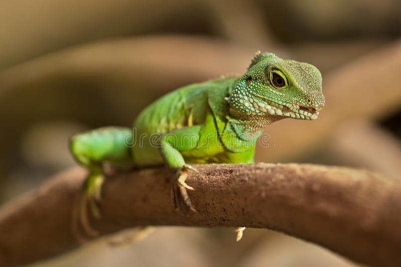 Green lizard. On a tree stock images