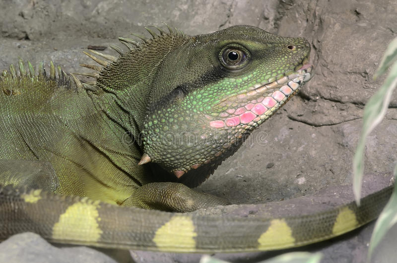 Green lizard. A green lizard in zoo royalty free stock photography