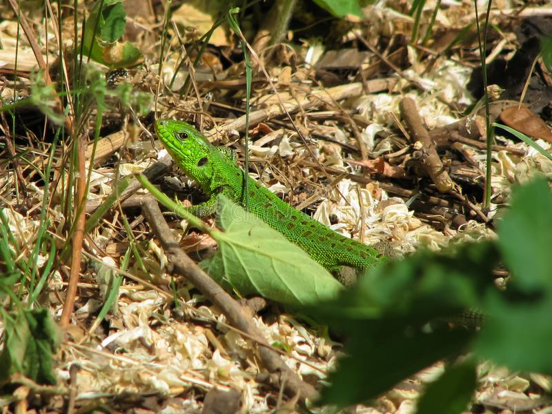 Green lizard on a background of dry and green leaves. A small lizard with green skin and dark spots crawls on a background of dry and green leaves, grass and royalty free stock photos