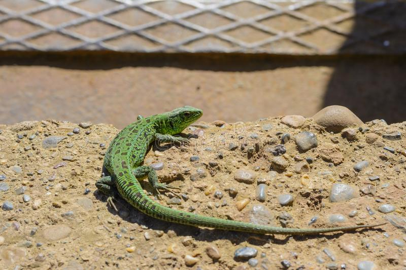 Green Lizard basking in the Sun stock images