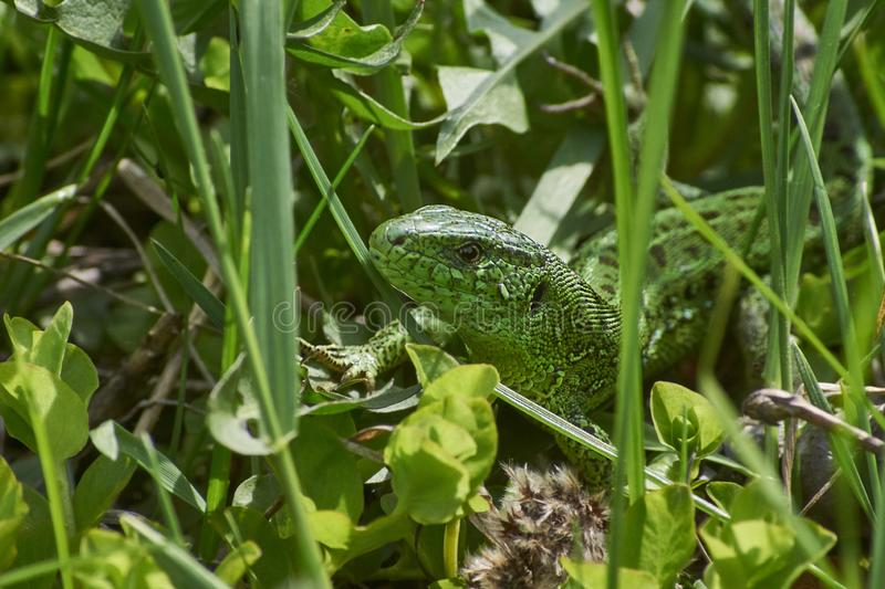 Green lizard basking in the sunshine. royalty free stock photography