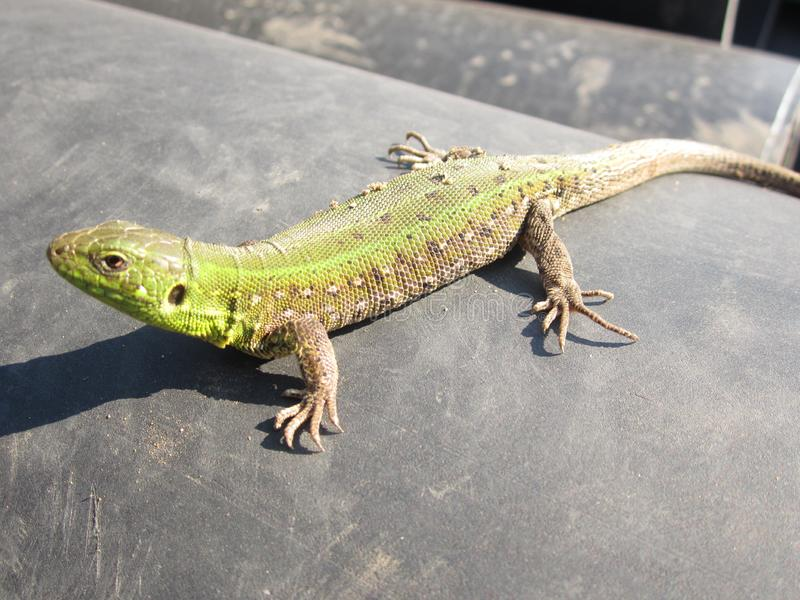 Lizard basks in the sun. Green Lizard basks in the sun royalty free stock images