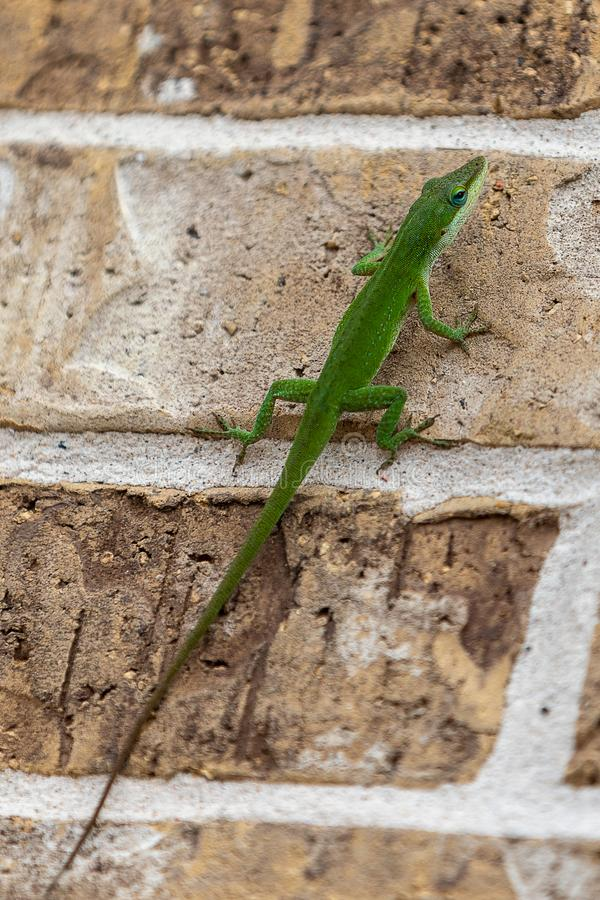Green lizard on brown brick wall stock images